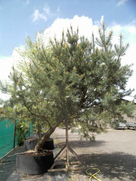 live oak belgium